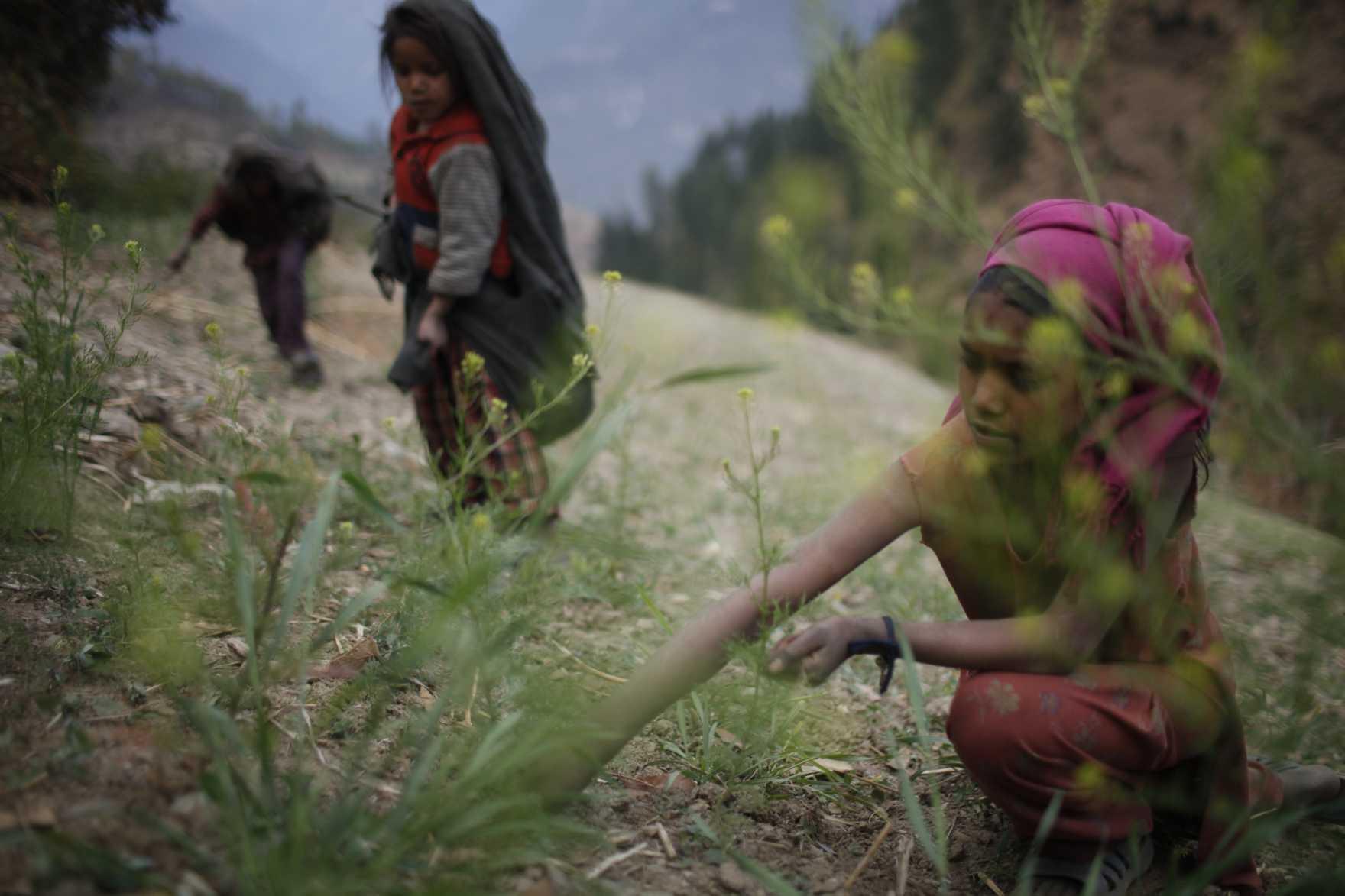 Flickor samlar foder till boskap på ett fält i Nepal.